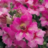 Antirrhinum nanum Frosty Lavender Bells F1 Photo