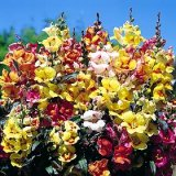 Antirrhinum 'Tequila Sunrise' Photo