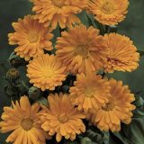 Calendula officinalis Pot Marigold Photo