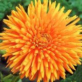 Calendula officinalis Radio Extra Selected Photo