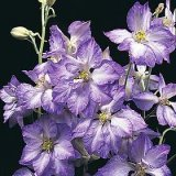 Delphinium ajacis 'Frosted Skies' Photo