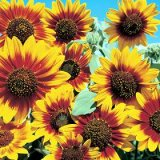 Helianthus annuus 'Bicentenary' Photo