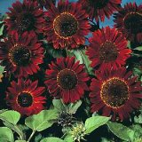 Helianthus annuus 'Prado Red' Photo