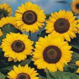 Helianthus annuus 'Prado Yellow' Photo