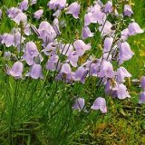 Campanula rotundifolia Photo