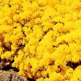 Alyssum saxatile 'Golden Queen' Photo