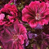 Malva sylvestris 'Magic Hollyhock' Photo