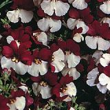 Nemesia 'Mello Red & White' Photo