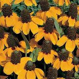 Rudbeckia amplexicaulis Photo