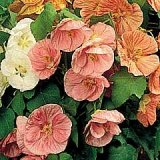 Abutilon 'Bella' Mixed F1 Hybrid Photo