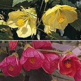 Abutilon x Hybrids Large Flowered Mixed Photo
